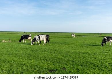 Netherlands,Wetlands,Maarken,Europe, a herd of cattle grazing on a lush green field