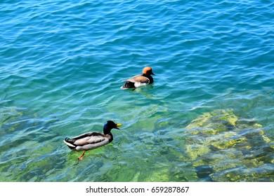 Netta rufina and Anas platyrhynchos swim on the surface of Lake Garda II