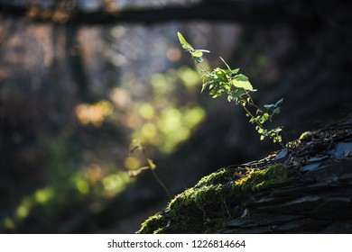 nettle in backlight, end of summer, beginning of autumn, in the background trees and branches, foreground rock, stones and moss, herb, health