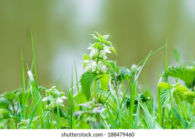 Nettle blooming at spring