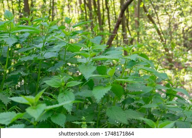 Nettle. Close up on nettle plant. Nettle field, nature concept and gardening.