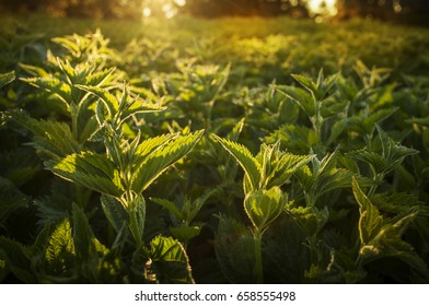 Nettle field. Green natural background with soft bokeh. Selected focus. Detailed picture. Warm day light in the background. Warm day light in the background. Medicinal plant