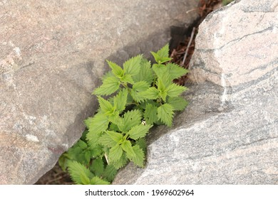 Nettle with fluffy green leaves. Background Plant nettle grows in the ground. Nettle on a natural background
