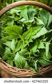 nettle harvest.  Fresh nettle leaves in the basket