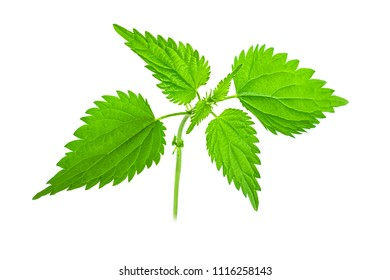 Nettle isolated on a white background.