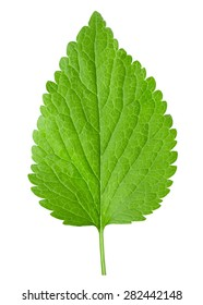 nettle isolated on the white background