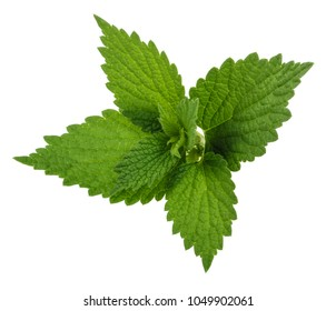 Nettle leaf isolated on white without shadow