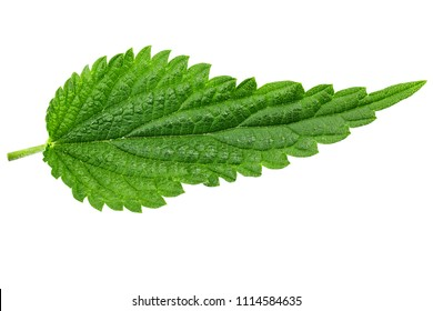 nettle leaf isolated on white background. the texture of the leaf is clearly visible. medical herbs. clipping path