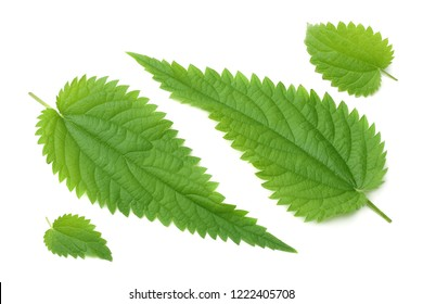 nettle leaf isolated on white background. medical herbs.