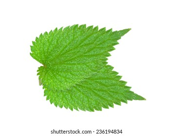 nettle leaf isolated on white