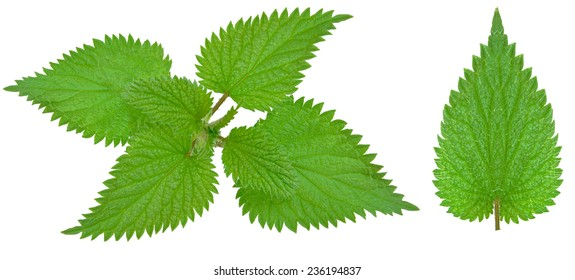 nettle leaf isolated on white