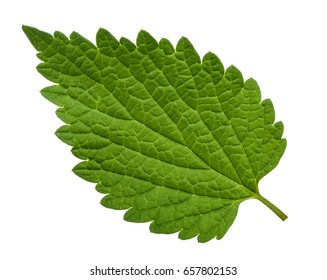 Nettle leaf isolated on white background