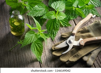 Nettle twigs, healthy infusion or oil bottle, gloves and garden pruner on wooden table in a retro village house.