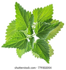 Nettle or urtica leaves isolated on white background.