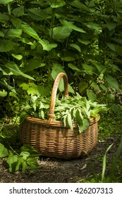 Nettles in the basket on the ground. Nettle leaf background. Natural light. Detailed picture.