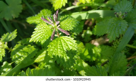 Nettles plant in the sunshine