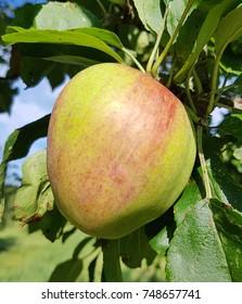 Neulander Soeoetappel, Apple, malus, domestica