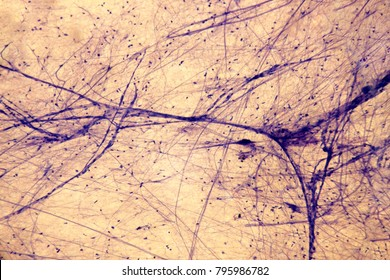 Neuromuscular junction microscopy photo