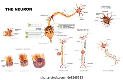 Neuron diagram images stock photos vectors shutterstock neuron detailed anatomy illustrations neuron types myelin sheath formation organelles of the neuron ccuart Choice Image