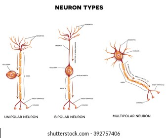 Nerve cell diagram images stock photos vectors shutterstock neuron types cells that is the main part of the nervous system ccuart Image collections