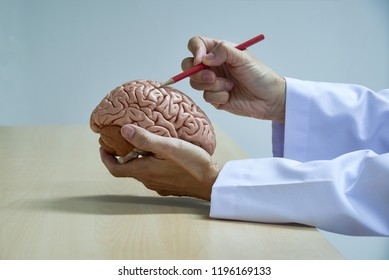 A neurosurgeon demonstrating human brain model anatomy by using red pencil in medical office