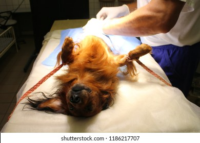 Neutering (castration) by dachshund dog