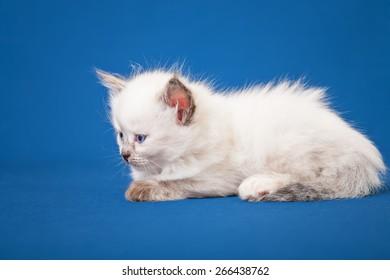 Neva masquerade kitten isolated on blue background