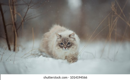 Neva masquerade (siberian) cat outdoor winter  portrait