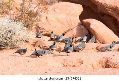 Nevada State Park: Valley of Fire.  The Gambel's quail (Callipepla gambelii) congregate into coveys of many birds
