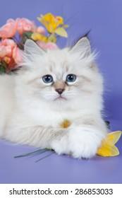Neva-Masquerade kitten, Blue eyed kitten