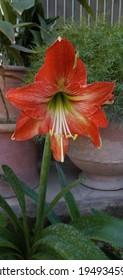 New Amaryllis unregistered hybrid variety