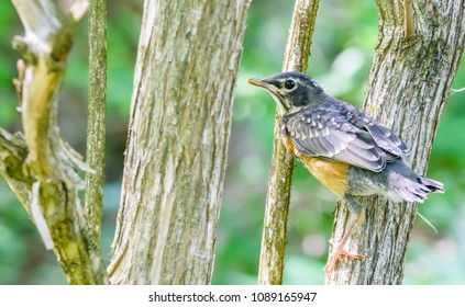 A new American robin fledgling from Kentucky