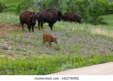 A new baby bison walks on a small hillside among purple wildflowers as its family stands behind it.