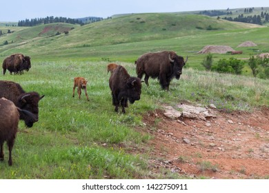 A new baby bison walks on a small hillside next to its mom and dad at Custer State Park, South Dakota.