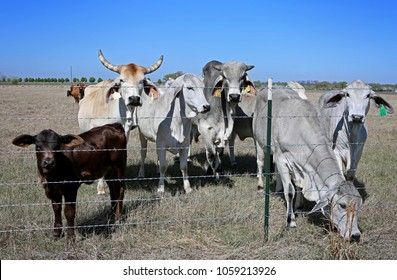 New barbwire farmers fence and mixed breed livestock