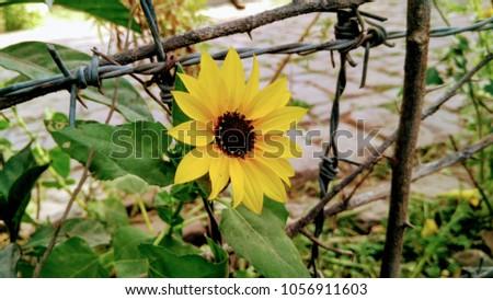 free sunflower wallpaper
