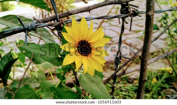 New Beautiful Sunflower Wallpaper This Picture Stock Photo
