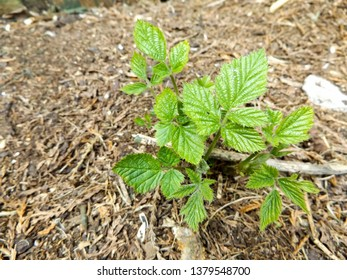 A new blackberry bramble (Rubus fruticosus) plant growing on a bed of soil and wood