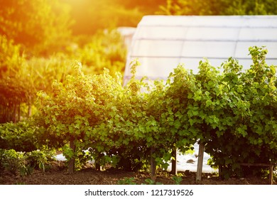 New blackcurrant berry bush in garden with greenhouse in background in spring at sunlight. Blackcurrants are easy to grow, producing bunches of dark purple berries in summer.