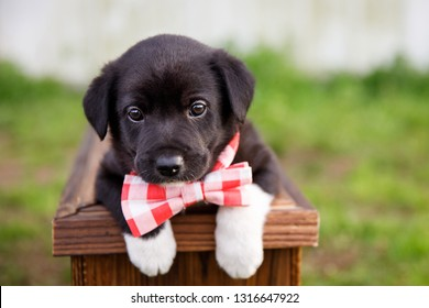 New Border Collie Lab Puppy outside in a Red and White Gingham Bow Tie