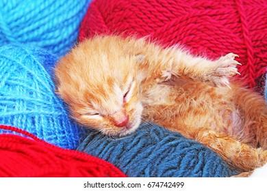 New born baby cat sleeping. Cute beautiful little few days old orange cream color kitten.