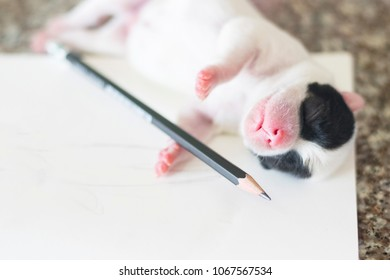 new born black and white french bulldog dog puppy on white paper and pencil with copy space tired of work or quit job concept with copy space