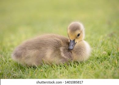 New born Canada geese babies