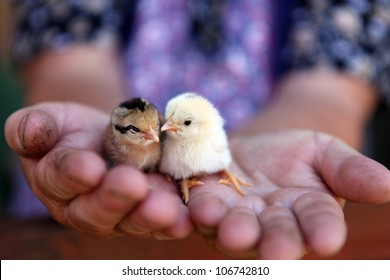 new born chiken in palms