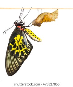 New born Common Birdwing butterfly emerge from cocoon in white background with clipping path