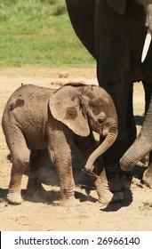 New born elephant calf