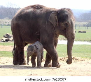 New born elephant making his public debut at Whipsnade zoo