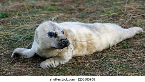 New born grey seal pup