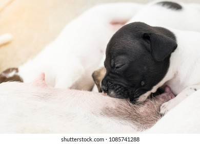 new born half french bulldog baby puppy dog eat suck milk from mom breast feed pet and animal concept with copy space