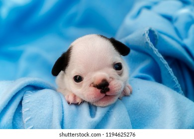 New born one month puppy Pedigreed Dog, Dozy of French Bulldog on the Blue soft duvets, Cute little pedigreed french bulldog puppy lying basket.